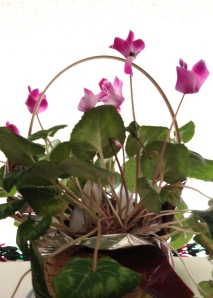 Cyclamen still blooming after months in its pot