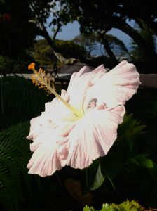 A hibiscus in June's backyard