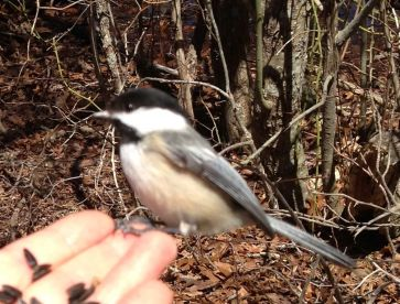 A Chickadee eating sunflower seeds out of my hand in the Beech Forest