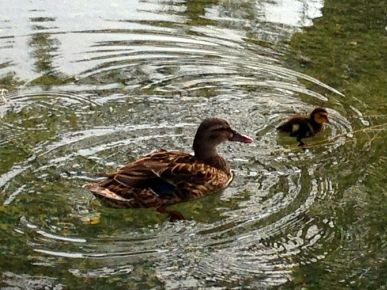 Mother Duck and her Duckling