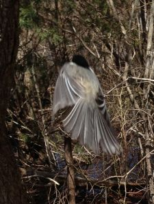 a chickadee flying away from eating out of my hand