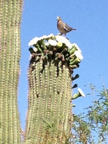Dove dining on Saguaro flowers