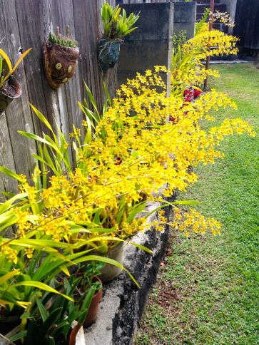 A Profusion of Orchids in my Spiritual Director's backyard