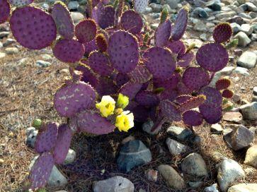 purple cactus, yellow flowers