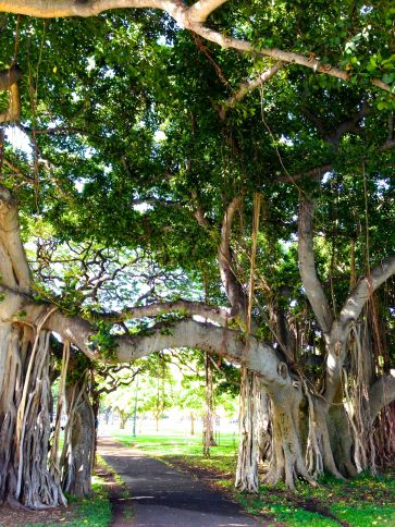 banyan tree arching over the Kapiolani Park walking path