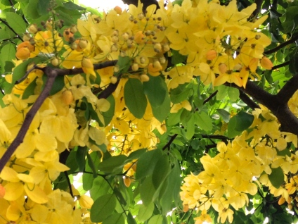 a golden shower tree in June