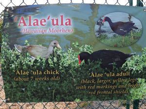 A brand new sign about the endangered Alae'ula bird.