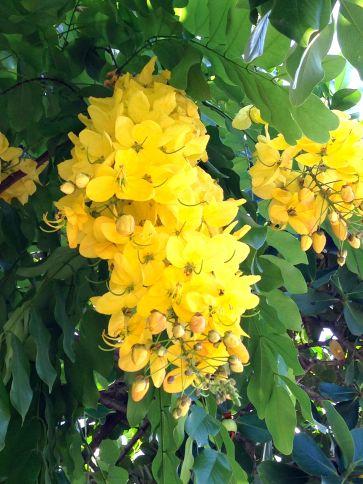 Shower tree blossoms at Kokua Coop
