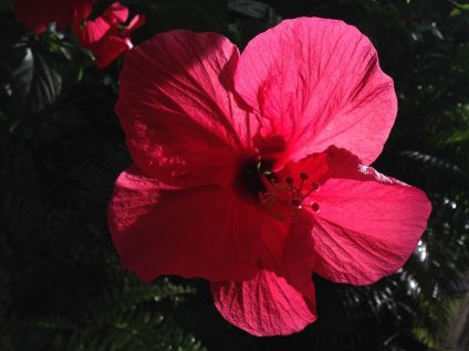hibiscus in dark and light