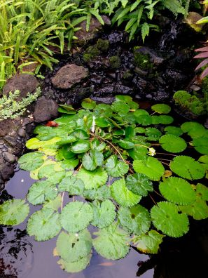 Lily pond at a friend's house