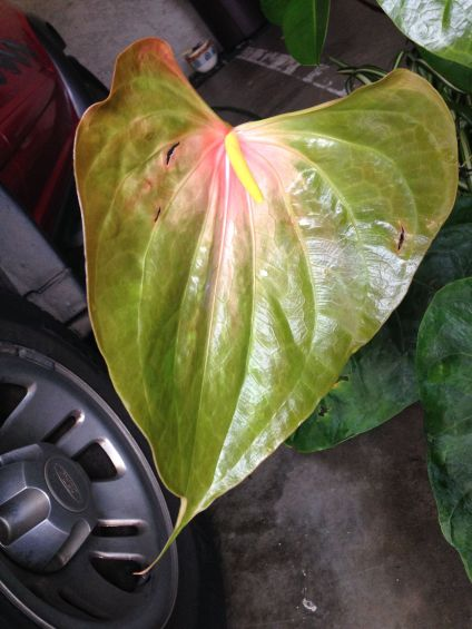 A large but young anthurium