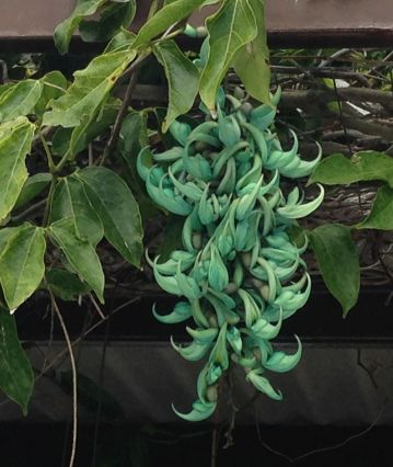 Jade vine at the Oahu Country Club