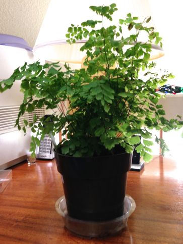 My new maidenhair fern sitting on my desk