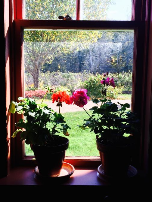 "Geraniums in the window of Anne of Green Gables ""home"""