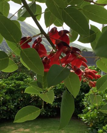a coral tree and Koko Crater
