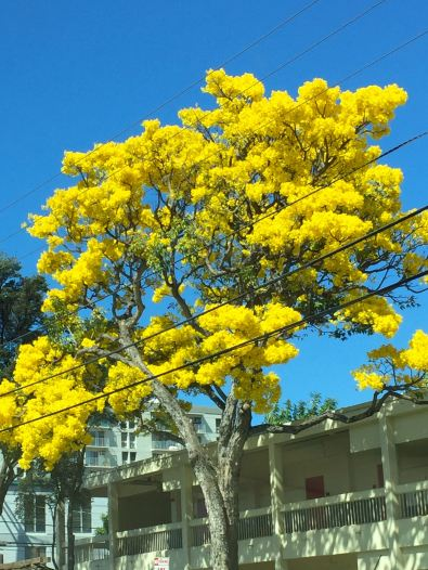 A Gold Tree at the end of January
