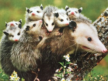 A mother opossum with her babies on her back (From National Wildlife April/May 2015