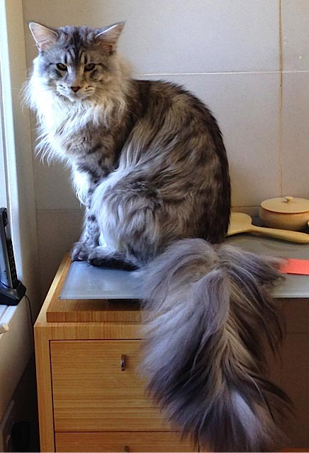 Maxx, the Maine Coon Cat of Rachel Naomi Remen