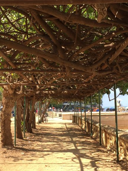 A Hau Tree arbored walkway near San Souci Beach