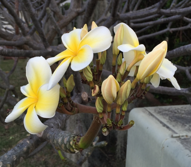 Plumeria in winter