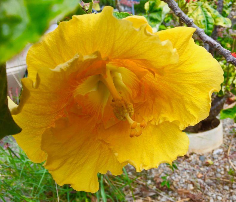 yellow hibiscu 3/17