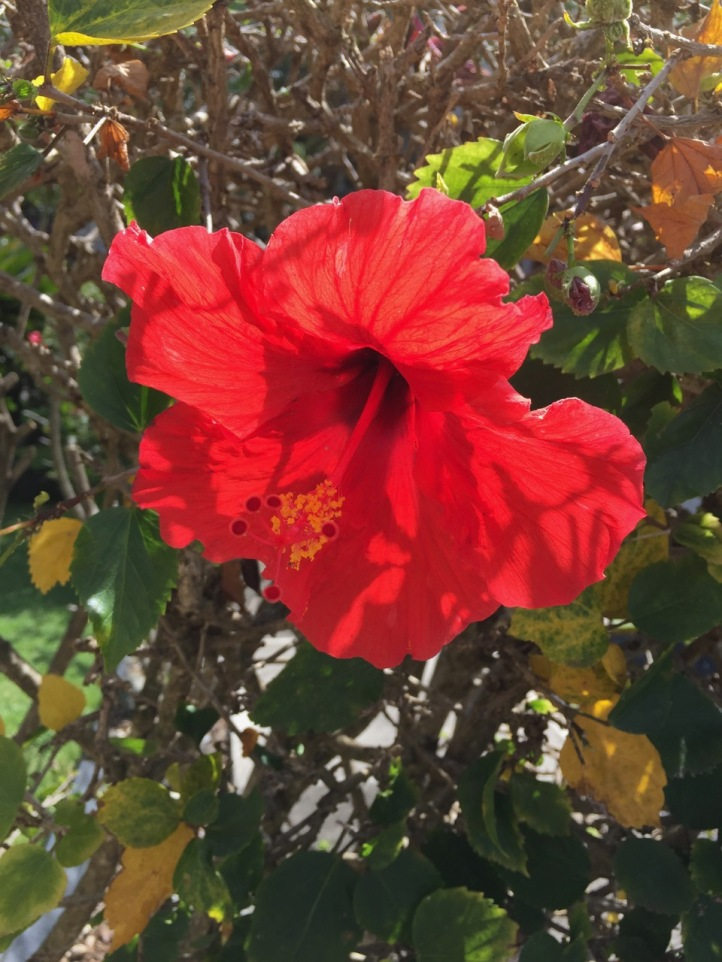 red hibiscus and branches